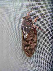 Cicadidae_2