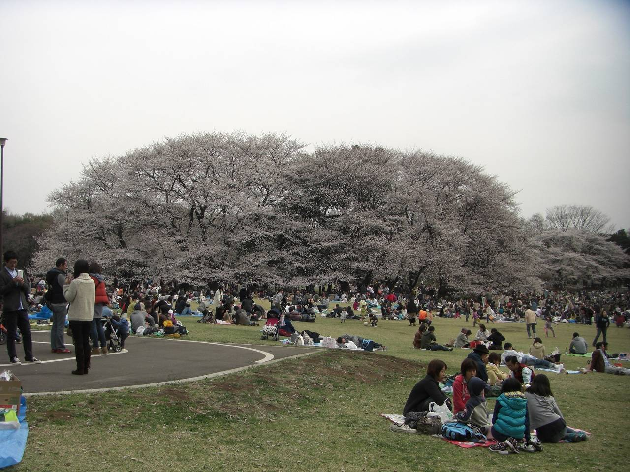 Kimutapark_sakura_20130323_as